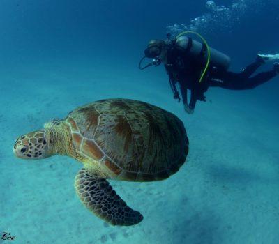 Tauchgang mit Turtle. Vanessa Johnson Foto von A.B. Lee